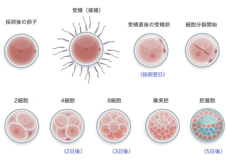 受精卵の発育